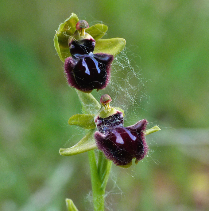 Early Spider Orchid - Tallone Road