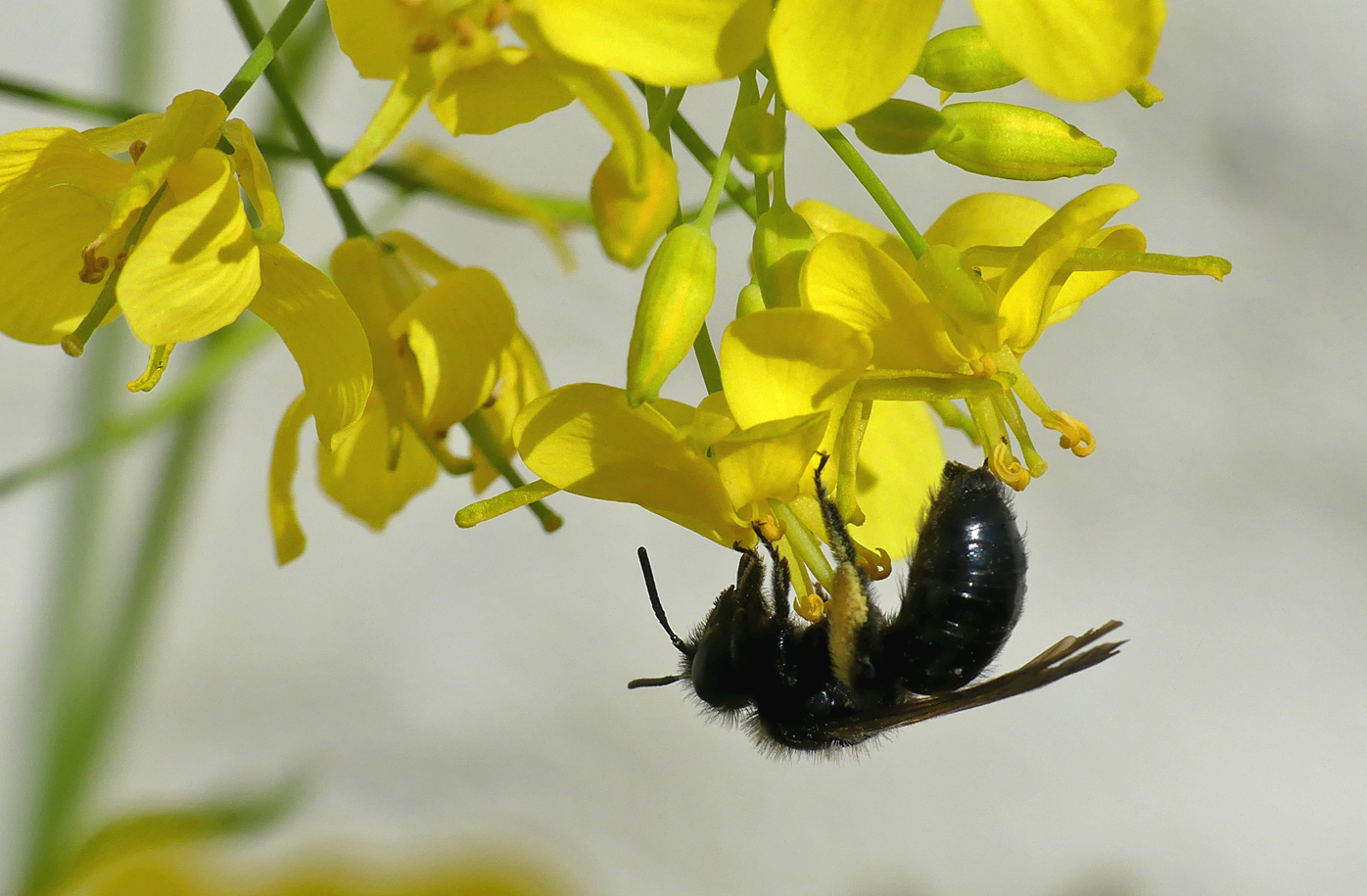 Violet-winged Mining Bee - garden, 14 May 17