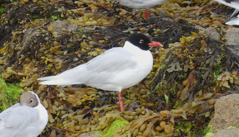 Mediterranean Gull - Cobo, 14 Jul 17