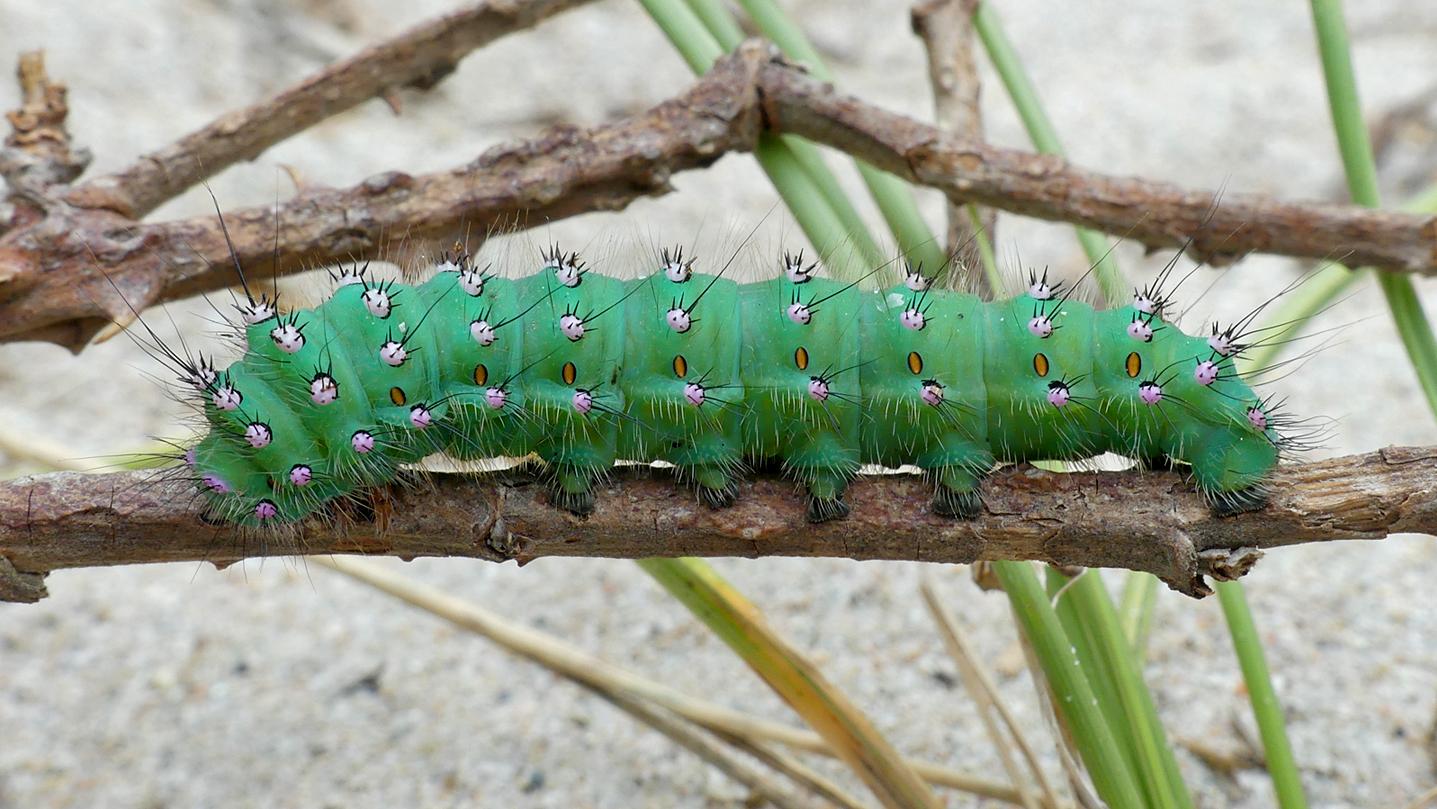 Emperor Moth larva - Grandes Rocques, 21 Jul 17