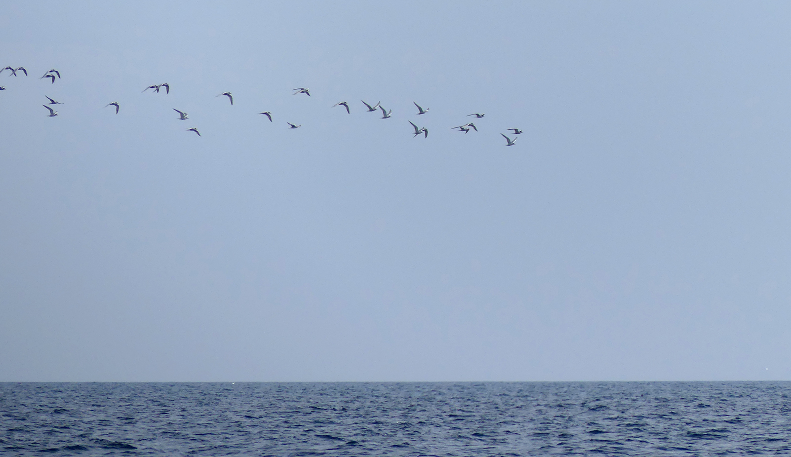 Common Tern - pelagic, 14 Aug 17