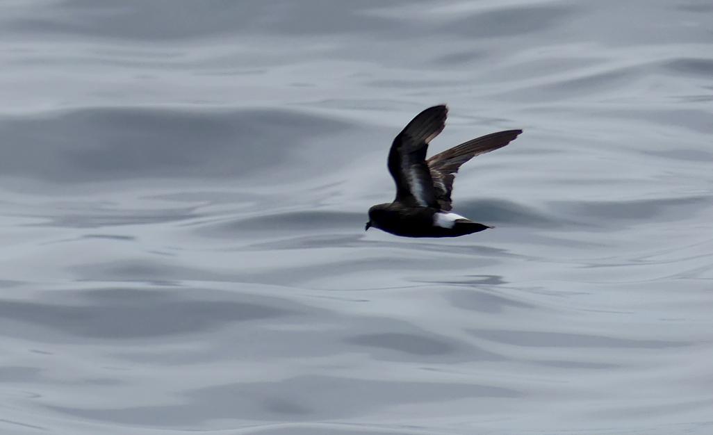 Storm Petrel - pelagic, 14 Aug 17
