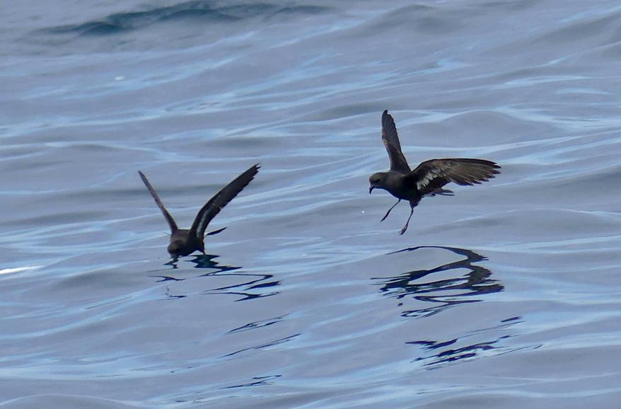 Storm Petrels - pelagic, 14 Aug 17