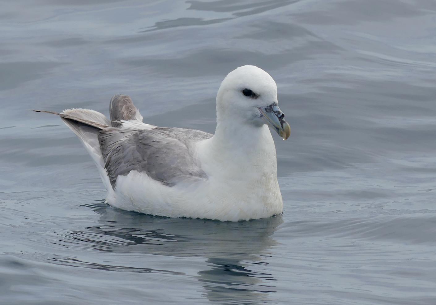Fulmar - pelagic, 14 Aug 17