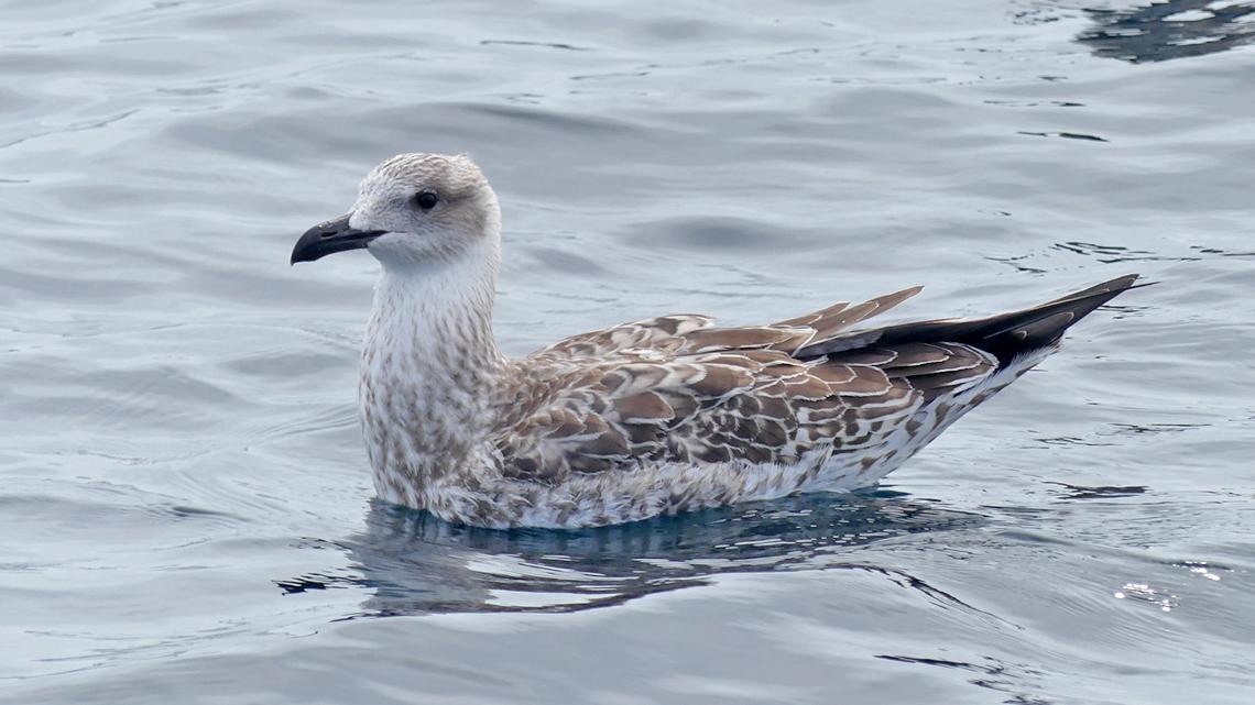 Yellow-legged Gull - pelagic, 14 Aug 17