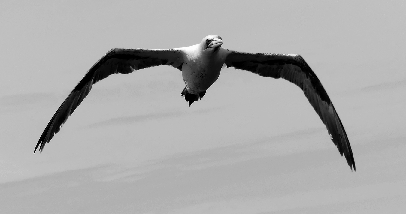 Gannet - pelagic, 14 Aug 17