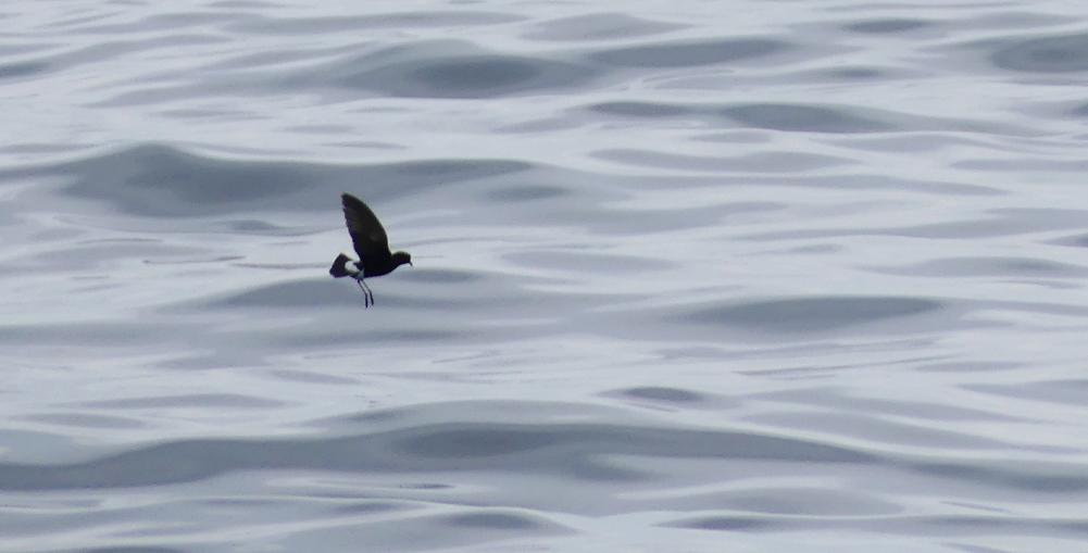 Wilsons Petrel - Hurd Deep, pelagic, 14 Aug 17 - showing the broad paddle-like wings and long, dangling legs.