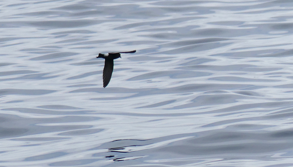 Wilsons Petrel - Hurd Deep, pelagic, 14 Aug 17 - here the fully-dark underwing can be seen as well as the extensive rump