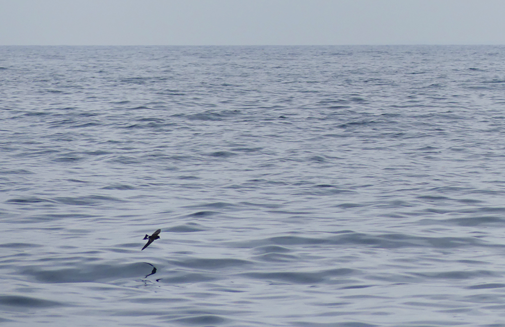 Wilsons Petrel - Hurd Deep, pelagic, 14 Aug 17 - the tiny ocean wanderer travelling half-way round the world to be here