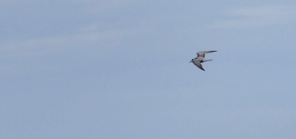 Black Tern - pelagic, 14 Aug 17