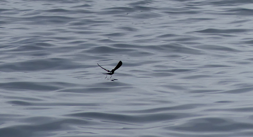 Wilson's Petrel dancing on the water surface