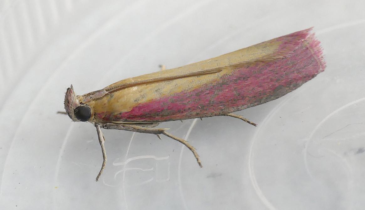 Oncocera semirubella - garden, 27 Aug 17