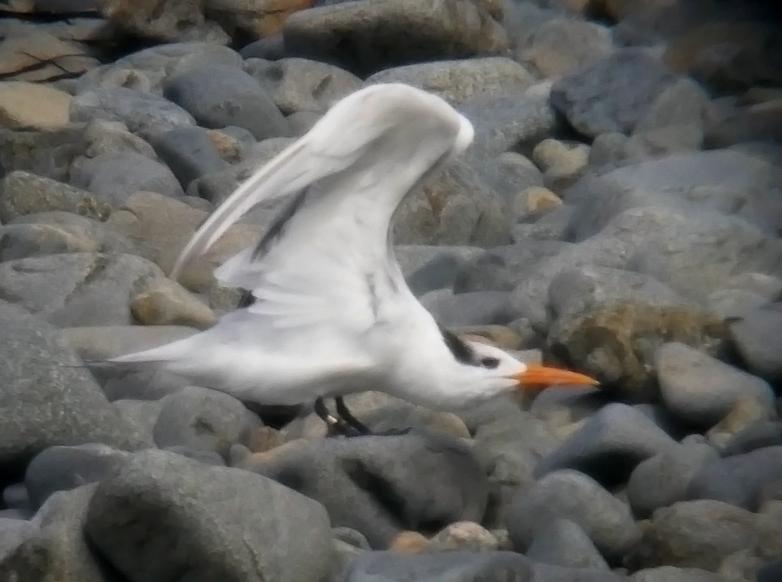 Royal Tern - Houmet Paradis, 16 Aug 17