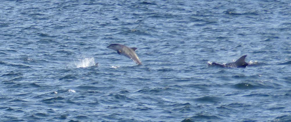 Bottle-nose Dolphins - Jaonneuse, 31 Aug 17