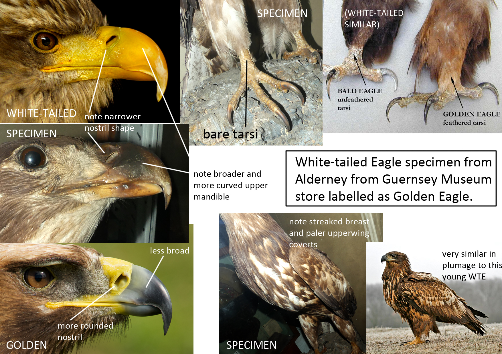 The key features as to why the bird was White-tailed rather than Golden.