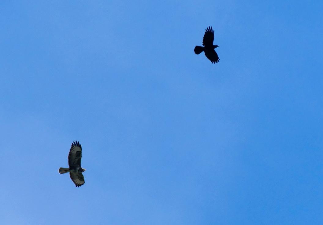 Buzzard and Crow - over the garden, 17 Sep 17