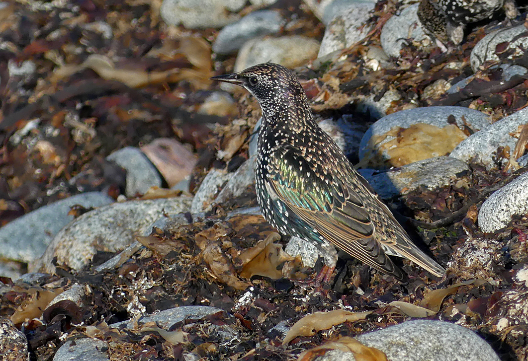 Starling - Pulias, 13 Oct 17