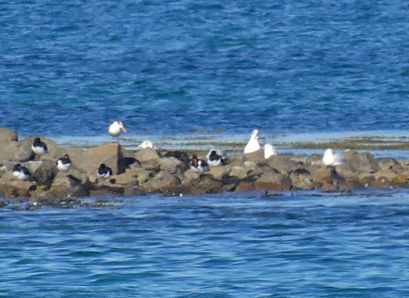 Royal Tern - Herm, 14 Oct 17