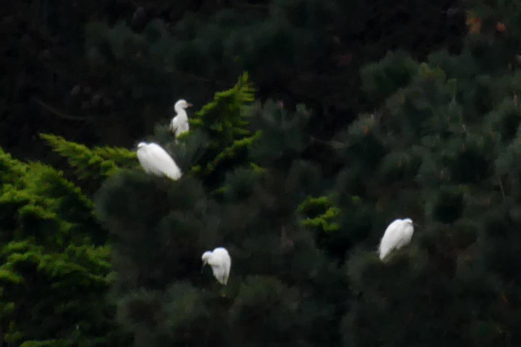 Cattle Egret - Reservoir, 19 Nov 17