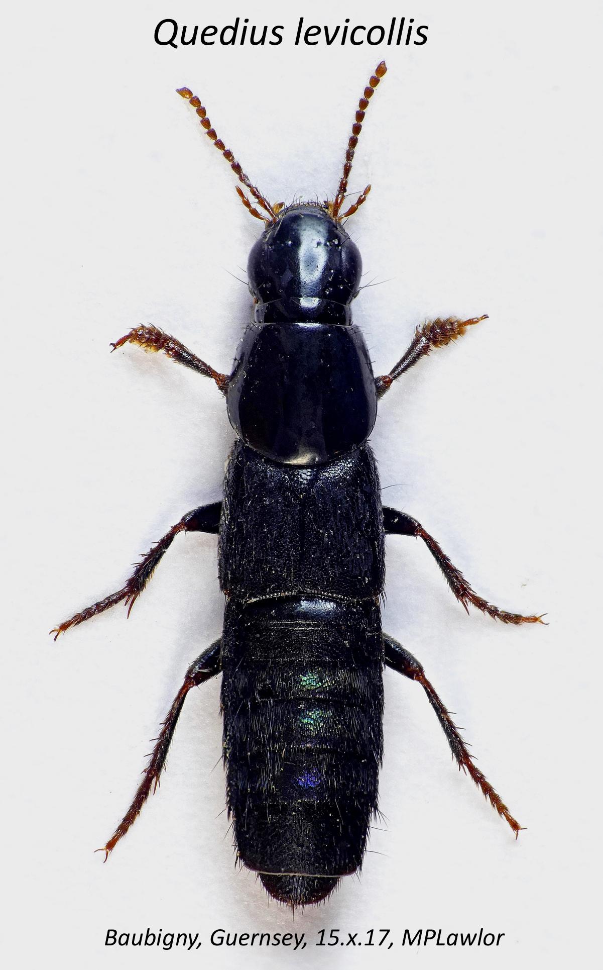 Quedius levicollis STE 15Oct17b.jpg