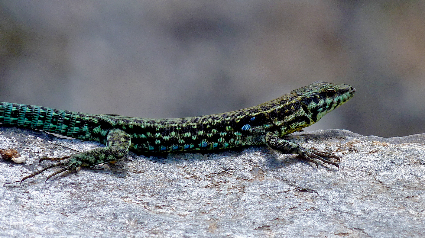 Tyrrhenian Wall Lizard Restonica.jpg