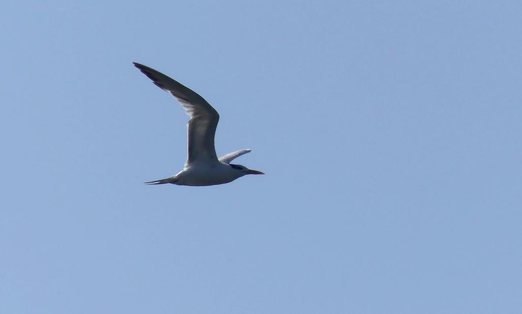 Royal Tern BdPecq 10May17.jpg