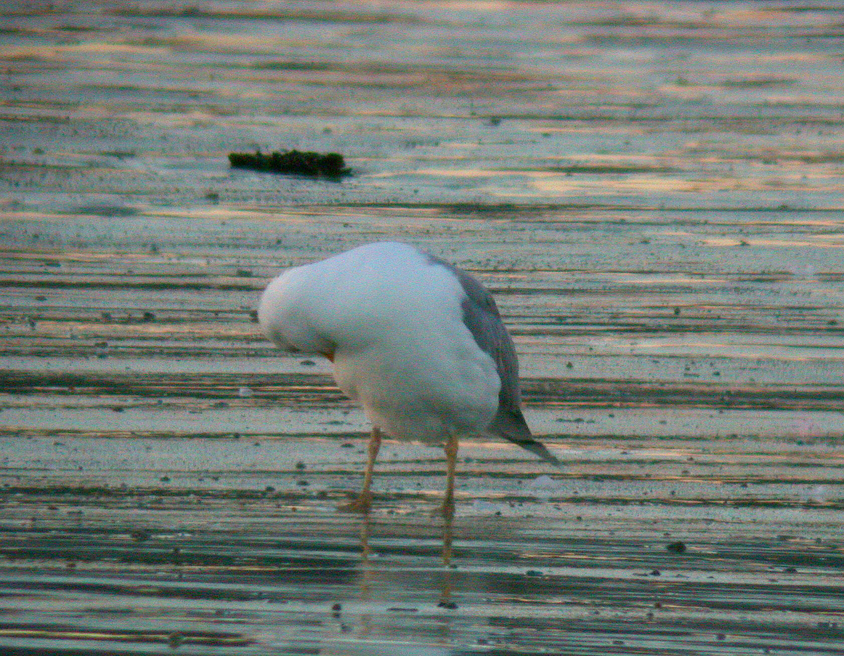 Yellow-legged Gull   , Vazon