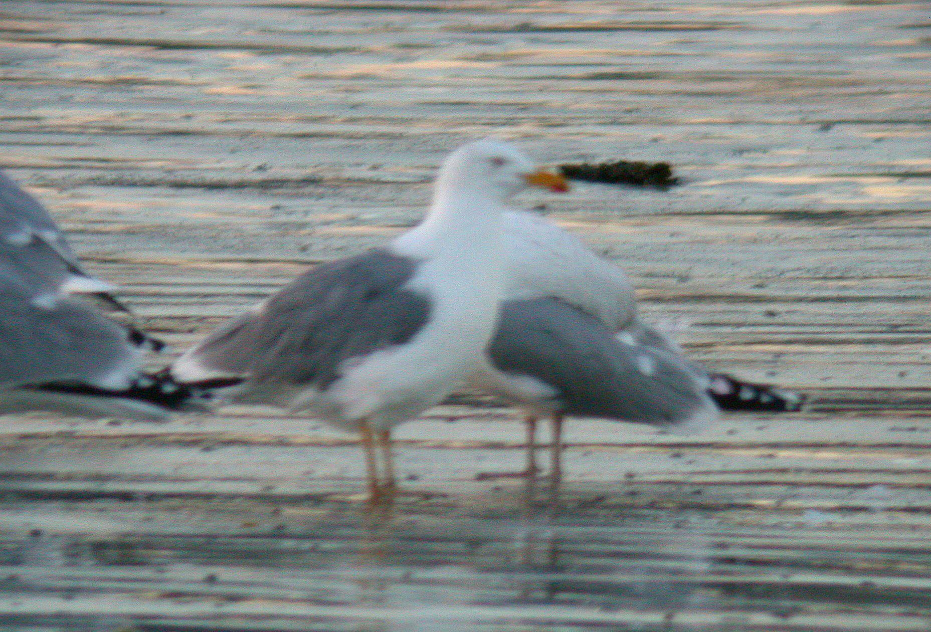 Yellow-legged Gull Vazon 19Jan11 c.JPG