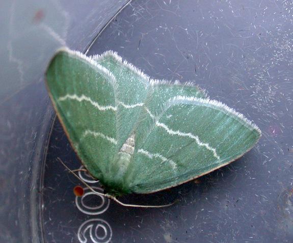 Southern Grass Emerald  , Pleinmont, July 2010