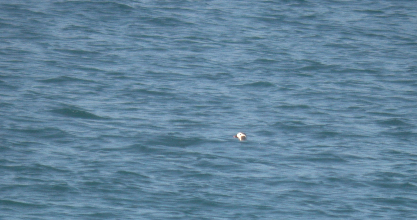 Long-tailed Duck, Pembroke Bay, 21 Mar 11 (or is it a Tufted Puffin?)