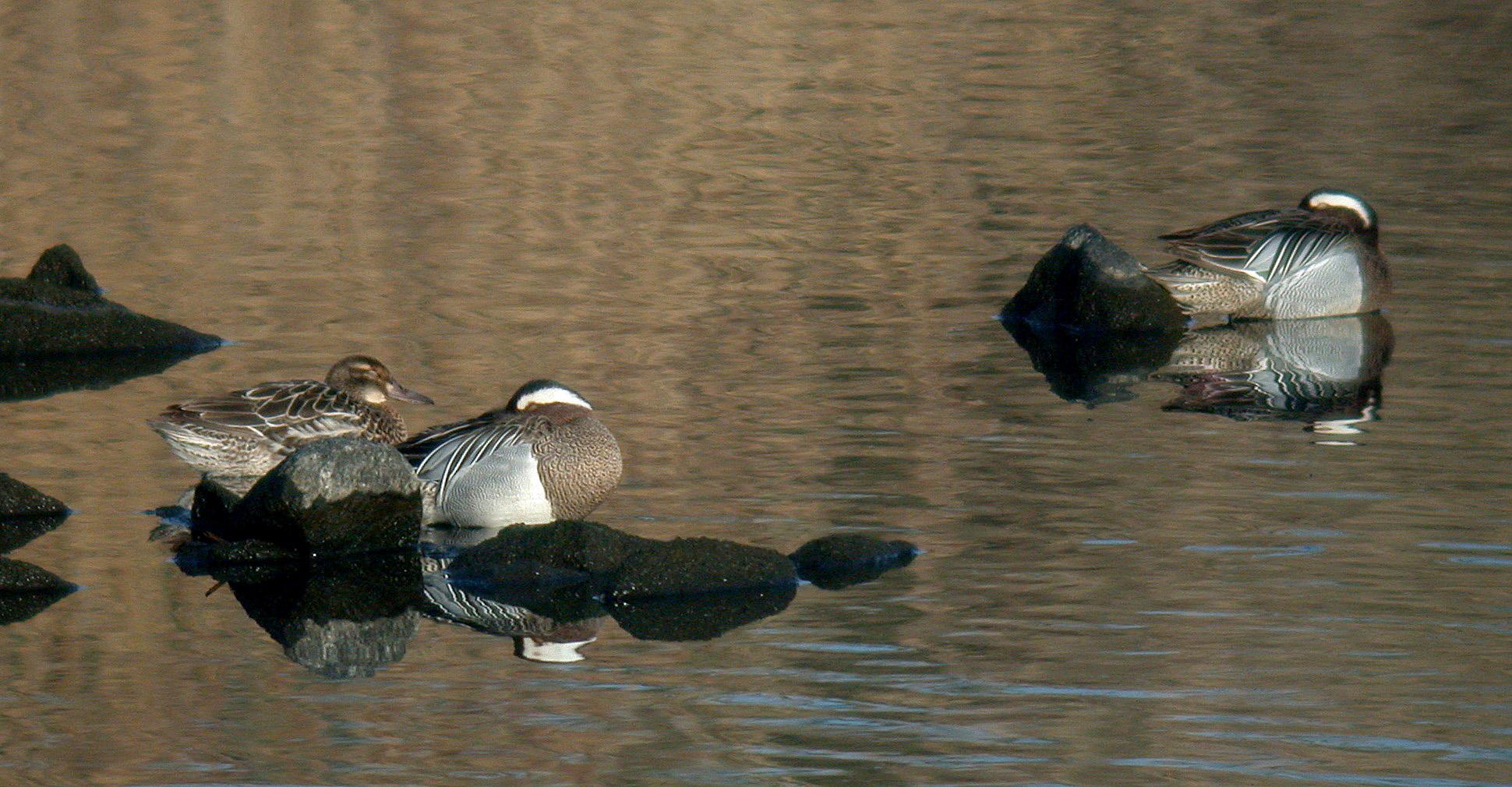 three Garganey, Vale Pond, 22 Mar 11