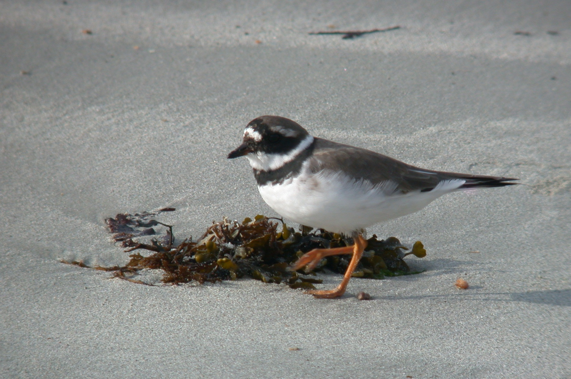 Ringed Plover, Vazon, 25 Mar 11