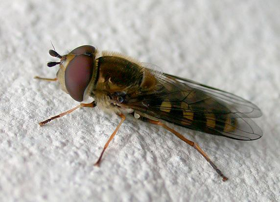 Hoverfly sp., garden, 3 April 2011