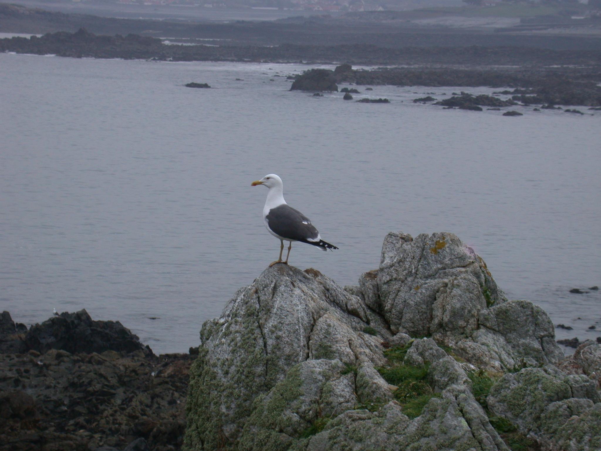 Lesser Black-backed Gull, Lihou, 15 April 2011