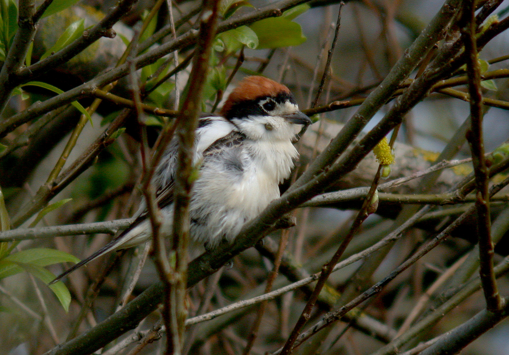 female Woodchat Shrike, Rocquaine, 16th April 2011    If you look closely, you can see on its lower cheek that it has a gorged tick attached, and there seemed to be a couple more on the other side. This may mean that the bird could be sick or very weak, and so it may stay for quite a while if it is struggling.