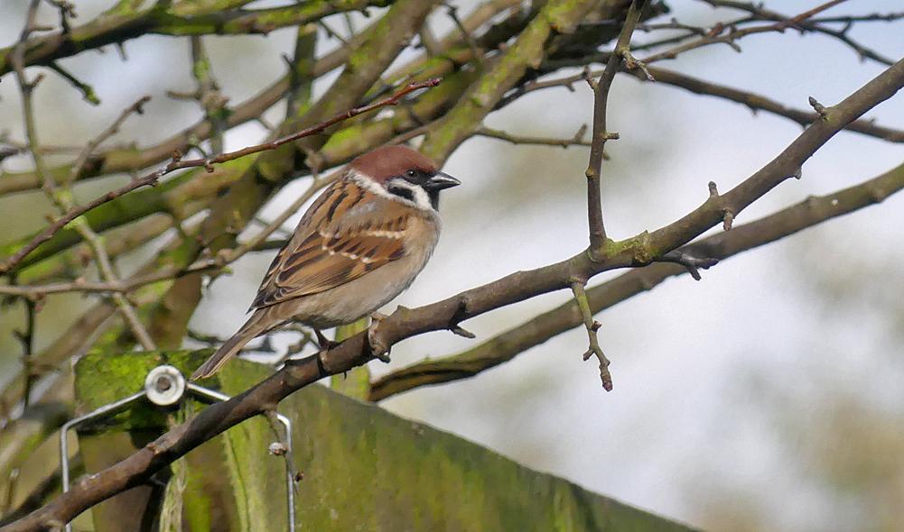Tree Sparrow - Wold Newton, 22 Feb 18
