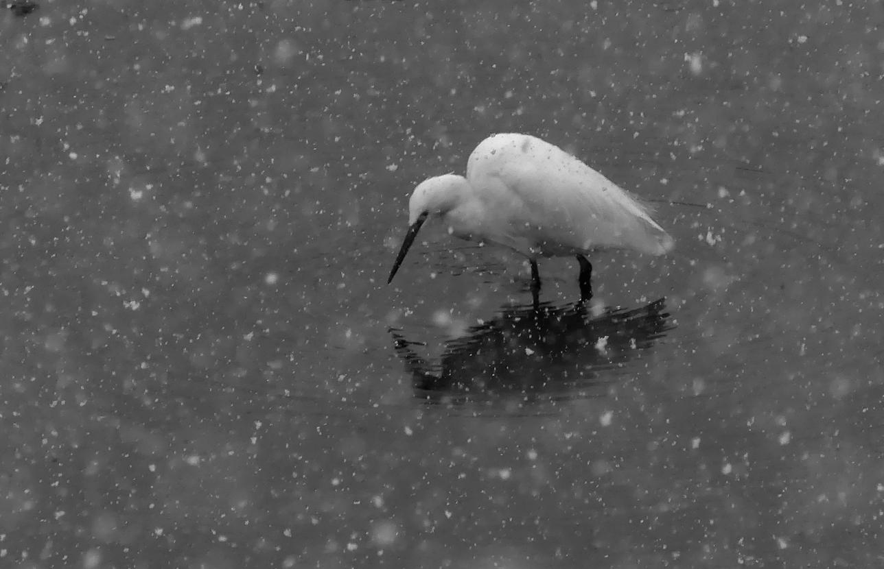 Little Egret - Vale Pond, 27 Feb 18