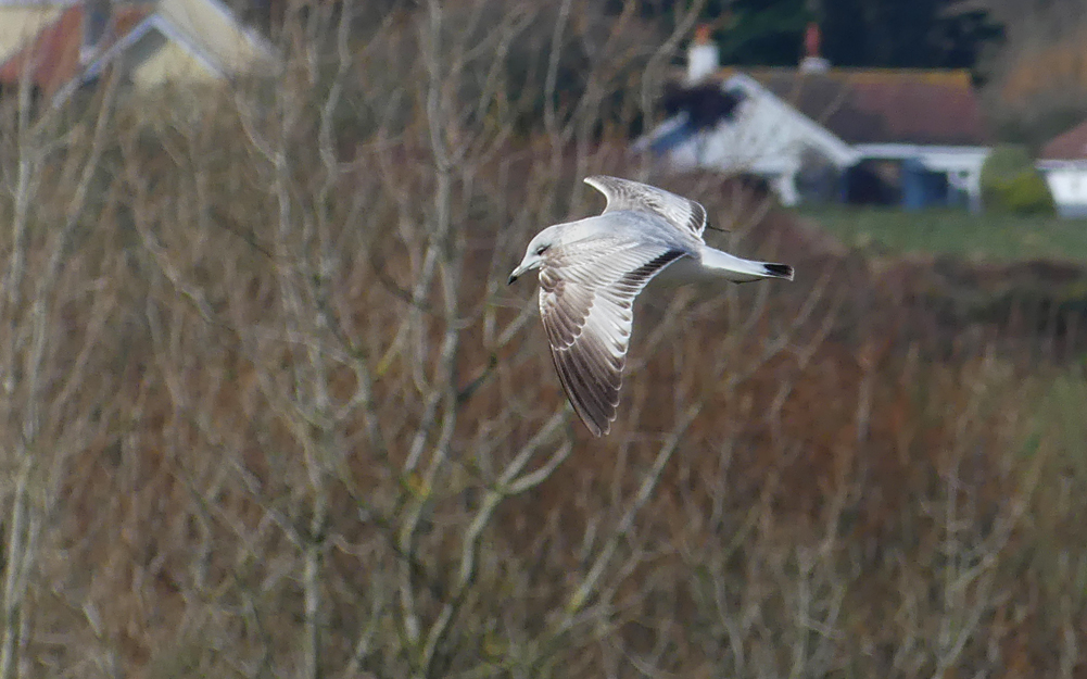 Common Gull - Rue des Hougues, 4 Mar 18 c.jpg