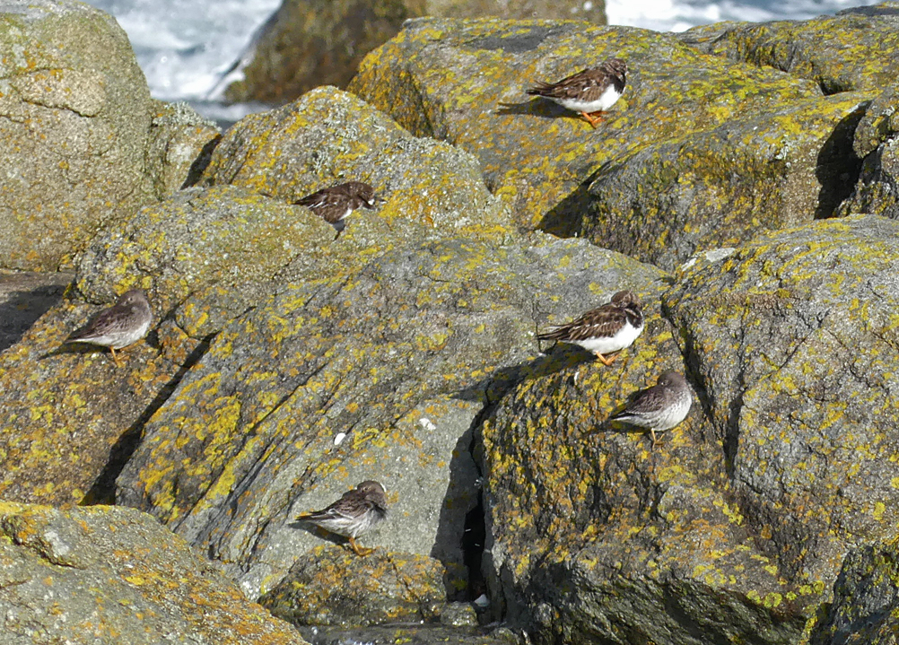 Purple Sandpipers - Rousse, 20 Mar 18 a.jpg