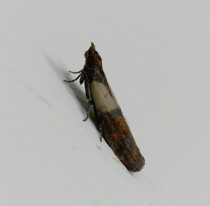 Indian Meal Moth - in the kitchen, 25 Mar 18