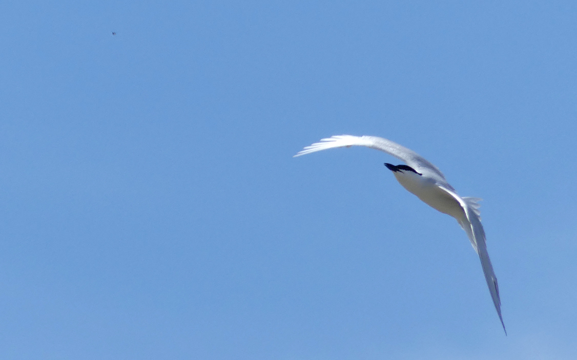 Gull-billed Tern -   Fuente de Piedra - has just spied an insect ahead of it (top left) and is going in for the kill...