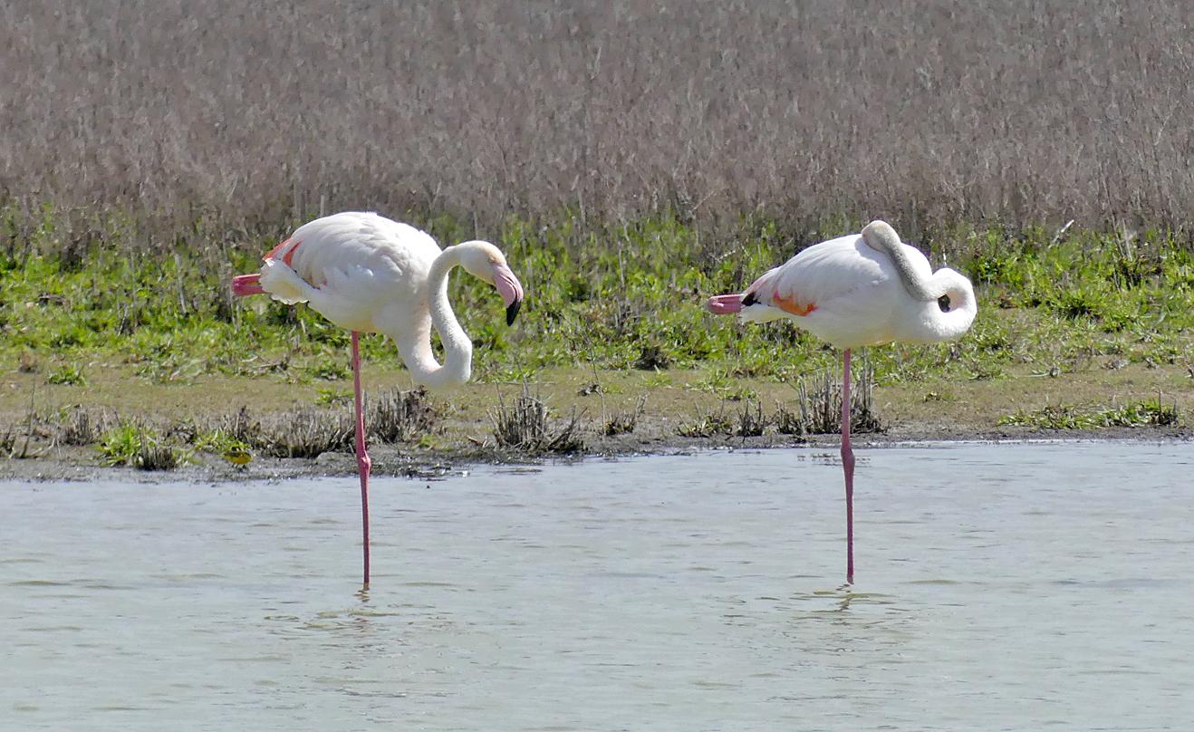 Greater Flamingos -  Fuente de Piedra