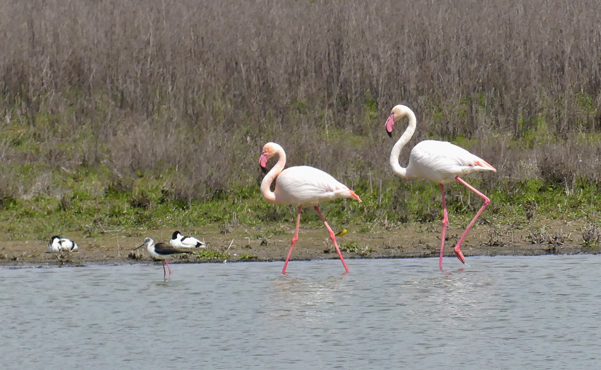 Greater Flamingos -   Fuente de Piedra - with Black-winged Stilt, Avocets and a Spanish Wagtail