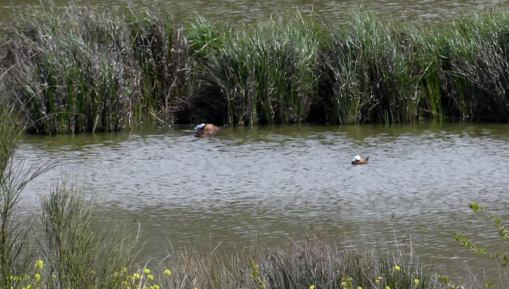 White-headed Ducks - Fuente de Piedra