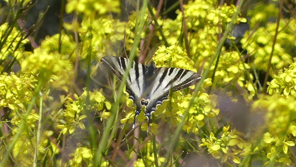 Scarce Swallowtail - Fuente de Piedra - as well as this species, we saw a couple of Green-striped Whites by the hides.