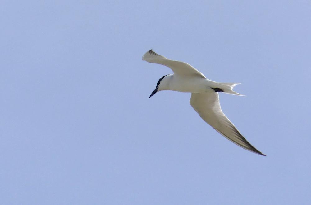 Gull-billed Tern - Fuente de Piedra