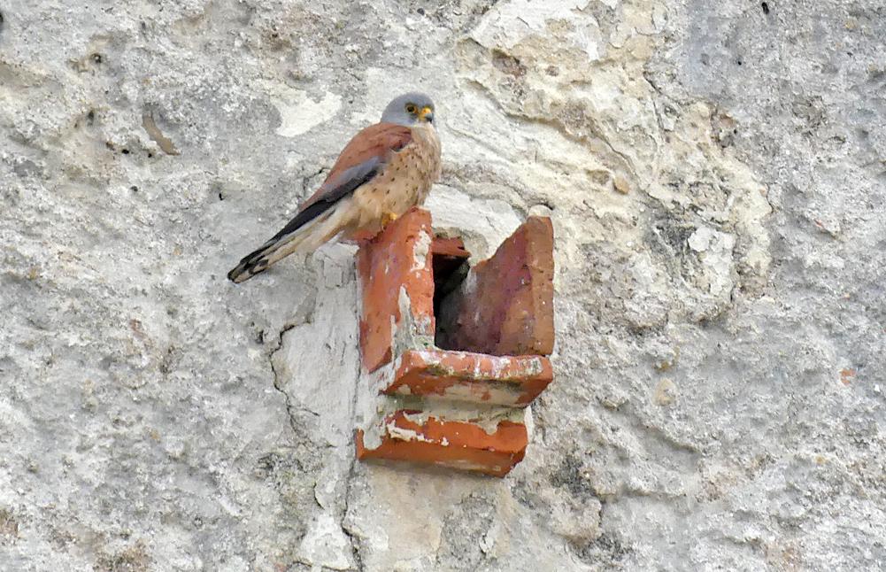 Lesser Kestrel, male - Castillo de Tarifa