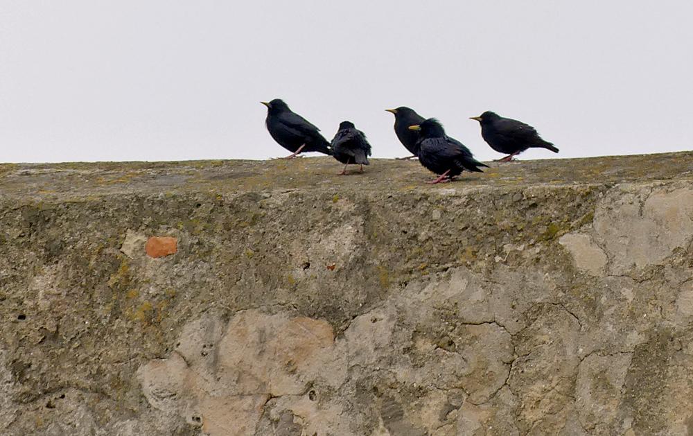 Spotless Starlings - Castillo de Tarifa