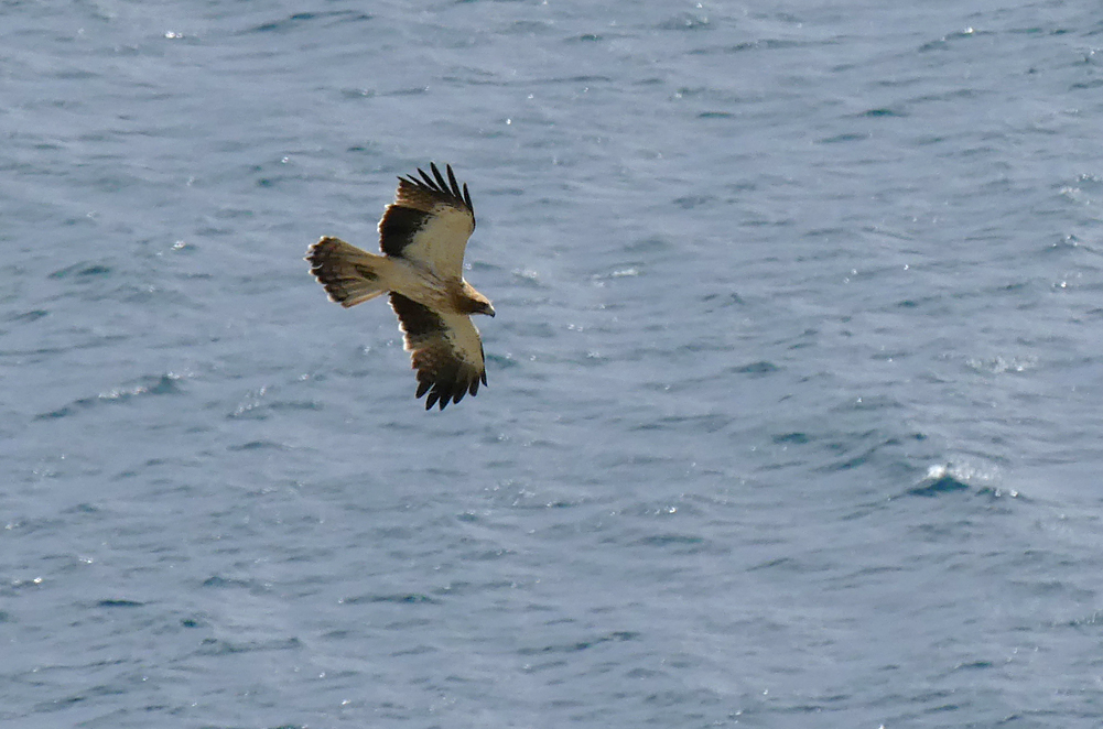 Booted Eagle - Punta Carnero