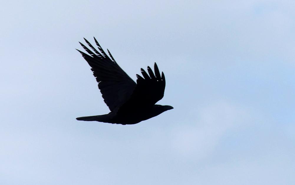 Raven - Punta Carnero